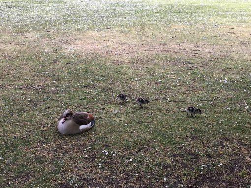 Duck Life?